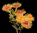 Verticordia chrysantha - Flickr - Kevin Thiele.jpg