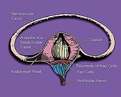 Vestibular system's semicircular canal- a cross-section.jpg