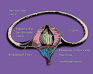 Hair cell - Image: Vestibular system's semicircular canal a cross section