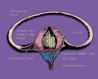 Cinnarizine - The vestibular system's semicircular canal – a cross-section. This is the site of cinnarizine's anti-vertigo action.