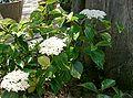 Viburnum japonicum cv2.jpg