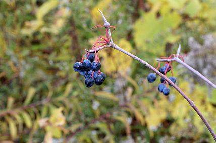 Viburnum lentago SCA-8322.jpg
