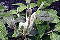 Viburnum rhytidophyllum 1zz.jpg