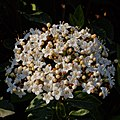 Viburnum tinus-Viorne tin-Corymbe-20210309.jpg
