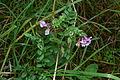Vicia sepium (8016815336).jpg