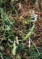Vicia villosa pseudocracca 2.jpg