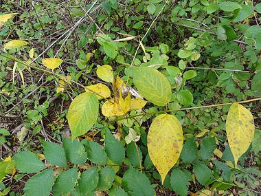 Vincetoxicum rossicum SCA-04866.jpg