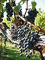 Vineyard at Brix, Napa, California A - Stierch.jpg