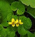 Viola biflora 2 RF.jpg