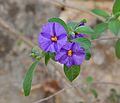 Viola cultivars.jpg