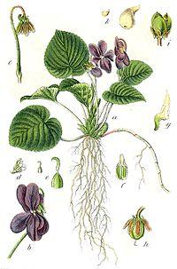 Viola odorata Sturm56.jpg