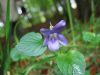 Viola riviniana bluete.jpeg