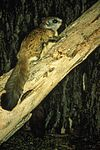 Virginia northern flying squirrel on a tree glaucomys sabrinus fuscus.jpg