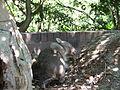 Vombat - Taronga zoo - panoramio.jpg