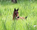 WILD HORSE YEARLING IN FIELD LOOKOUT MOUNTAIN HERD-OCHOCO (24857730523).jpg