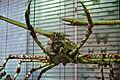 WLANL - thedogg - Japanse reuzenkrab (1).jpg
