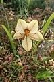Wachendorfia paniculata kz1.jpg