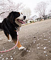 Walking in a park cherry blossoms (8627162934).jpg