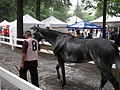Walking the horses from the Track, Opening Day in the Rain Saratoga Racetrack NY 8387 (4853574363).jpg
