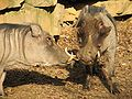 Warthogs at Louisville Zoo 4.jpg