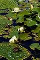 Water lilies ^ Frog - Flickr - nekonomania.jpg
