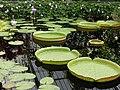 Waterlily leaves - geograph.org.uk - 1451974.jpg