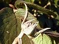Wayfaring-tree (Viburnum lantana) (8261184746).jpg
