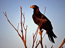 Wedge Tailed Eagle.jpg