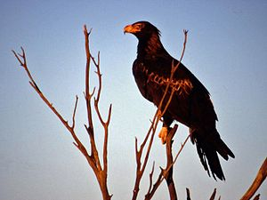 Bunjil - The wedge-tailed eagle is the largest bird of prey in Australia