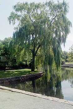 The song portrays life as a willow tree (pictured), and life-changing love as a wind that bends the tree. Weeping Willow by Pond.jpg