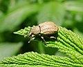 Weevil. Barynotus moerens - Flickr - gailhampshire.jpg