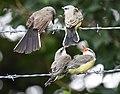 Western Kingbird (fledges and parents) (28730762227).jpg