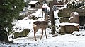 Western Roe Deer (Capreolus capreolus) - Asker, Norway 2021-01-13.jpg