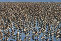 Western Sandpipers and Dunlins.jpg