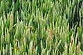 Wheat-20060629-014.jpg
