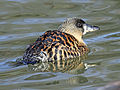 White-backed Duck RWD1.jpg