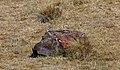 White-rumped Swallow (Tachycineta leucorrhoa) (4856399235).jpg