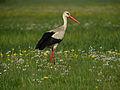 White Stork (Ciconia ciconia), Zajki meadows, Eastern Poland.jpg