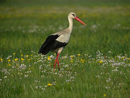 Poland is host to the largest white stork population in Europe. White Stork (Ciconia ciconia), Zajki meadows, Eastern Poland.jpg
