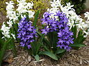 White and purple hyacinths