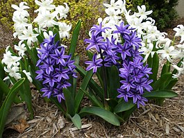 White and purple hyacinths.JPG
