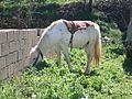 White horse grazing by a stone wall.jpg