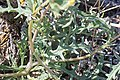 Whitestem blazingstar (Mentzelia albicaulis) 2017.05.13 10.24.49 IMG 9337 - Flickr - andrey zharkikh.jpg