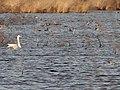 Whooper Swan at Humberhead Peatlands NNR - geograph.org.uk - 1172626.jpg