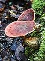 Wielangta Unidentified Fungus 5238.jpg