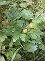 Wild gooseberries n g.jpg