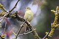 Willow Warbler (Phylloscopus trochilus.jpg