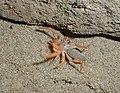 Wind scorpion.JPG