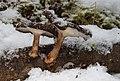 Winterporling Polyporus brumalis.jpg