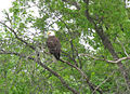 Wisconsins Bald Eagle at Rest.jpg